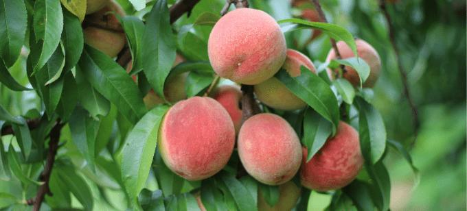 Peach Festival at Linvilla Orchards