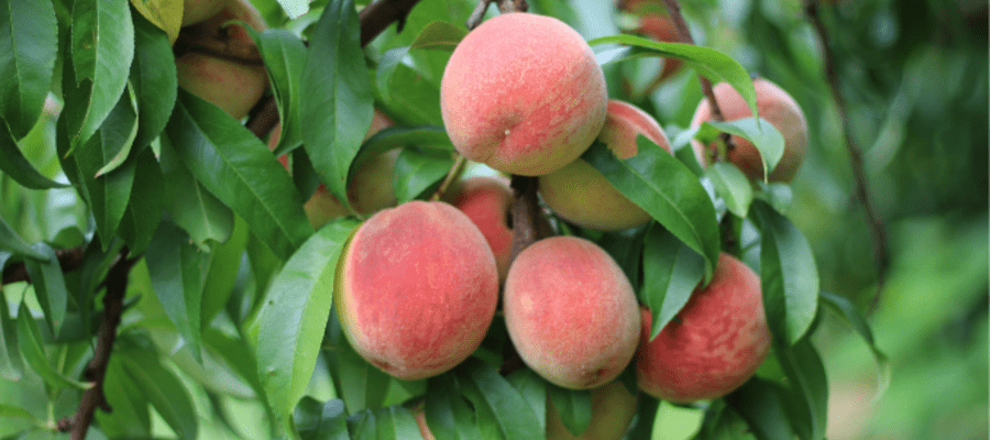 Peach Festival at Linvilla Orchards