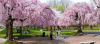 Where to View Cherry Blossoms in Philadelphia